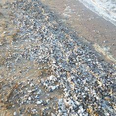 Ein Meer aus Muscheln auf #Usedom