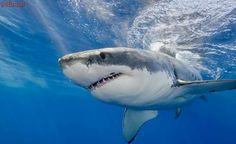 Principal companhia aérea da China proíbe o transporte de barbatanas de tubarões