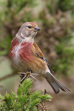 Common Linnet (Carduelis Cannabina) is a small passerine bird of the finch family, Fringillidae that breeds in Europe, western Asia and north Africa. It is a slim bird with a long tail. The upper parts are brown, the throat is sullied white and the bill is grey. The summer male has a grey nape, red head-patch and red breast. Females and young birds lack the red and have white underparts, the breast streaked buff.