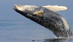 Humpback whale recovery in Australia -- A cause for celebration - http://scienceblog.com/79481/humpback-whale-recovery-australia-celebration/