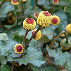 200+ Toothache Plant Flower Seeds , Under The Sun Seeds
