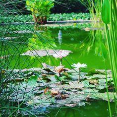 #waterlillies in the #pond at #JardinBotanico, #piertodelacruz. #Tenerife #canaryislands #spain #españa #instagood #photography #blogger #traveller #traveler #travelgram #pic #botanicalgardens #botany #flowers #beautiful :heart::smile::deciduous_tree::tul