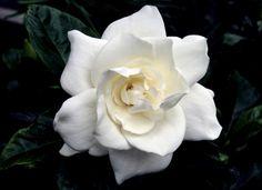 Very nice gumpaste Gardenia tutorial. Click on photo for the tutorial.