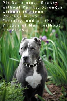 Pit bulls... must be defended from bad press that was created by cruel people, using these dogs for financial gain.  Please love a Pitty!