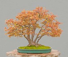 "Walter Pall Bonsai Articles: Refurbishing a Japanese maple - the ""hedge cutting method"" After Pic"