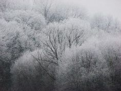frosted woodland