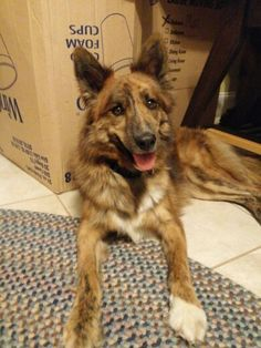 Red merle boarder collie shepherd...one year old...my new foster pup needs a furever  home!