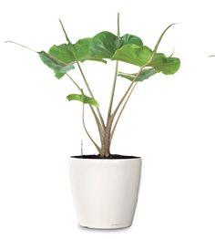 Small Ornamental Plant - Stingray Elephant's Ear Ornamental Plant - Alocasia Stingray (Web) Buy Indoor Plants - Fruit Plants Online RealOrnamentals.com or RealPalmTrees.com #IndoorPalms #DIY2015 #PalmTrees #BuyPalmTrees #2015PlantIdeas #Summer2015Plants #Ideas #BeautifulPlant #DIYPlants #OutdoorLiving #decoratingareasideas