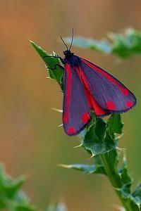 De prachtig gekleurde sint-jacobsvlinder is een overdag actieve nachtvlinder (foto: J. Wessels)