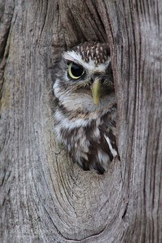 Little Owl by corinnahardware
