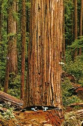 Cathedral Grove | Big Trees: Pictures & Politics | Big Trees as Curiosities