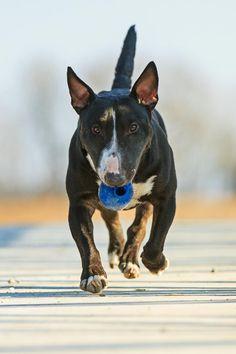 #Bullterrier Basic Training