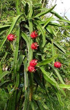 Pitaya, Fruta del Dragón de Fuego