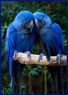 arara azul. Beauty of blue love.