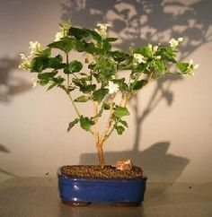 "The World of Real Bonsai by Oxemegifts.com-The flowering Arabian Jasmine is a bushy vine that we train into tree form. It has intensely fragrant white flowers, fading to pink as they age. Grown throughout the tropics as an ornamental tree and for its strong scented flowers. Does very well as a flowering indoor bonsai tree.5 years old, 12"" - 14"" tallRecommended flowering indoor bonsai tree, grown and trained by Bonsai Boy.Suitable humidity/drip tray is recommended. To purchase add .Added…"