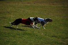 Stredoslovenský šprintér – Mastrovstvá SR 2019 v Banskej Bystrici - Spring in Roseland Pixies, Dogs, Animals, Animales, Animaux, Pet Dogs, Doggies, Animal, Dog