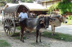 Maymyo or Pyin Oo Lwin, Burma Bullock Cart, Colonial Architecture, Horse Drawn, British Colonial, Mandalay, Burmese, A Comics, Ox, Short Film