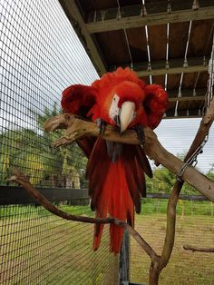 A scarlet macaw was in bad shape until some people brought her to get help.