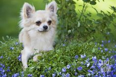 Long-Haired Chihuahua Photographic Print at Art.com