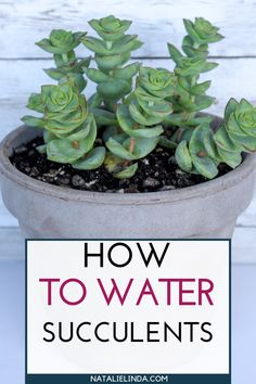 Properly watering your succulents makes all the difference in growing healthy succulents. Learn how and when to water your succulents plus what tools to use and how to tell if your plant needs less or more water! How to Water Succulents - the Right Way How To Water Succulents, Growing Succulents, Cacti And Succulents, Growing Plants, Planting Succulents, Planting Flowers, How To Grow Plants, Propagating Succulents, Caring For Succulents Indoor