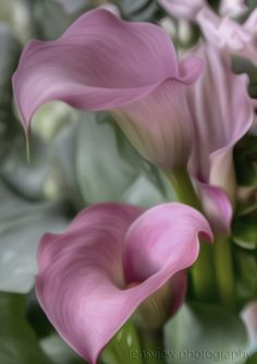 Photograph :: by Pam Russell on Calla Lillies, Calla Lily, Cold Porcelain Flowers, Sunflower Pictures, Bloom Where You Are Planted, Floral Drawing, Flower Landscape, California Poppy, Most Beautiful Flowers