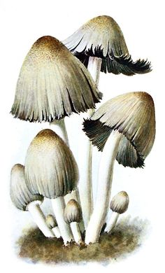 inky cap (Coprinopsis atramentaria)    Albin Schmalfuss, from Führer für Pilzfreunde (The mushroom lover's guidebook) vol. 2, by Edmund Michael, Zwickau, 1901.