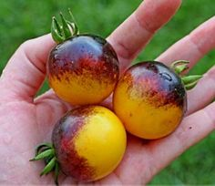 Very Rare Bumble Bee Heirloom Tomato Seeds - 100 Seeds - Perennial Seeds