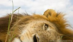 beetle cam for lions