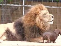 Tiny dog helps his lion buddy out | Watch the video - Yahoo! Screen