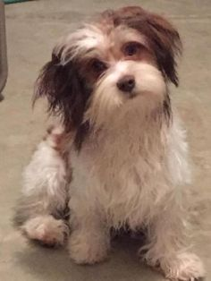 Photo Gallery: Danny Boy ❤ Chinese Crested Powder Puff, Animals And Pets, Cute Animals, I Love Dogs, Photo Galleries, Gallery, Dogs, Pets, Pretty Animals
