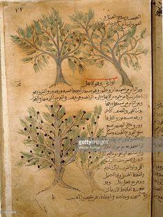 Folio 22r of the Arabic version of Dioscorides De Materia Medica, Juniperus sabina (juniper). Islamic. 987 990. Samarkand.