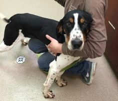 3 / 21    Petango.com – Meet Kerry, a 1 year Coonhound / Mix available for adoption in Oshkosh, WI