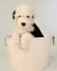 Old English Sheepdog Pup