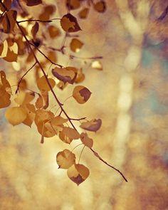 nature fall autumn aspen photograph / gold, golden, yellow, fall foliage / shimmer / 8x10 fine art photo