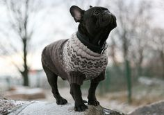 Über cute Frenchie in a sweater #frenchbulldog #frenchie #dogs