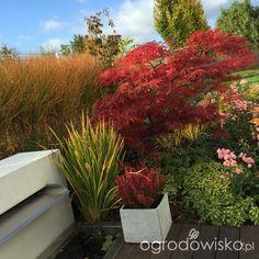 Ogród pod trzema dębami - strona 172 - Forum ogrodnicze - Ogrodowisko- klon Garnet