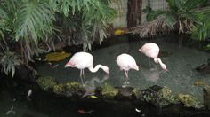 Flamingoja Nizzan luonnontieteellisessä museossa Flamingo, Animals, Museum, Nice, Flamingo Bird, Animais, Flamenco, Animales, Animaux