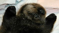 Baby-Otter-Alaska---Lindsaye-Akhurst-24