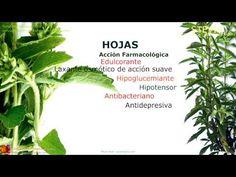 Stevia. Propiedades. Características de la planta. Nombre científico . ¿Que es la Stevia?, contenido y principios activos. Propiedades medicinales de la Stevia rebaudiana. http://www.plantas-medicinal-farmacognosia.com/productos-naturales/stevia-rebaudiana-estevia/