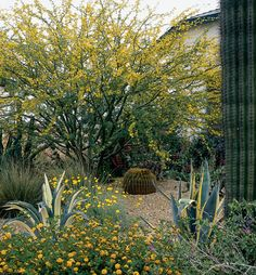 Xeriscape Landscaping with Style in the Arizona Desert. Photo Credit: Linda Enger, Linda Enger Photography The combination of structural cacti (barrel cactus, agaves, saguaro) define the space while grasses, flowering perennials, and groundcovers fill the yard with seasonal color. Yellow is a common color for low desert and desert adapted plants.