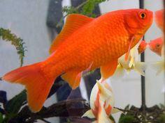 Los peces de agua fría