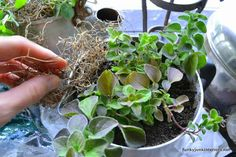 make an old kettle herb garden in seconds, gardening, repurposing upcycling, A peat moss based potting soil was added then a little spanish moss to hide the soil which makes the pots look fuller More pics at