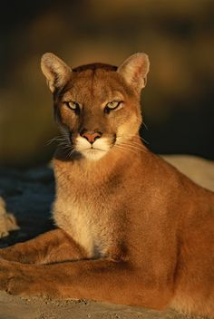 Big cats : Mountain Lion by Norbert Rosing Pretty Cats, Beautiful Cats, Animals Beautiful, Pretty Kitty, Big Cats, Cats And Kittens, Cute Cats, Regard Animal, Animals And Pets