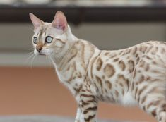 The Bengal cat is a highly intelligent breed characterised by its wild, leopard-like appearance. It is also incredibly active and playful with an affe… – Cats Cute Cats And Kittens, I Love Cats, Cool Cats, Kittens Cutest, Warrior Cats, Pretty Cats, Beautiful Cats, White Bengal Cat, Bengal Cats