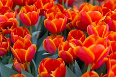 tulips | Hot Orange Red Tulips
