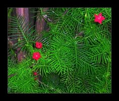 , Cypress Vine Care: Tips On Growing Cypress Vines , Cypress vine or star glory. I love the feathery leaves and tiny bright red flowers for the hummingbirds! Easier to grow than I thought! Shade Garden, Garden Plants, House Plants, Flowers Nature, Red Flowers, Outdoor Plants, Outdoor Gardens, Cypress Vine, Hummingbird Plants