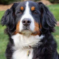 We were tagged by our friends @comrade_bennya @arco.thebernesemountaindog to participate in the #seriousface  challenge.  I'm only quiet and serious when there is food not being handed over to me!  If there is anyone else that would like to play along please share! by oakley_dog