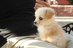 Cute little gold puppy is playing on the legs of his owner. So adorable and tiny! ♥♥♥