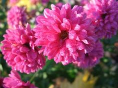NATURAL PICTURES: ASTER .. a typical garden flower seen everywhere