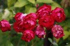Morsingon pihalta: ruusut 'Adelaide Hoodless'